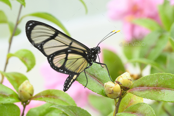 Tropical glasswing butterfly among pink and yellow camellia flowers. - Stock Photo - Images