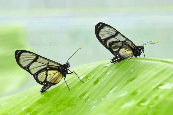 Tropical glasswing butterfly among green banana leaves.. - Stock Photo - Images