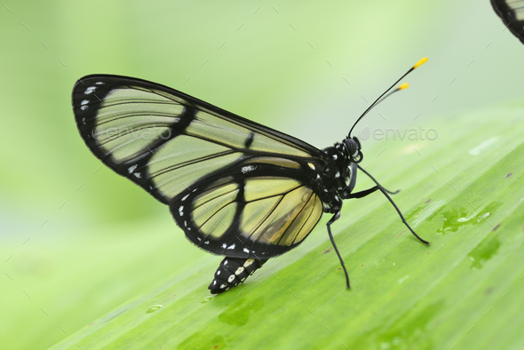 Tropical glasswing butterfly among green banana leaves - Stock Photo - Images