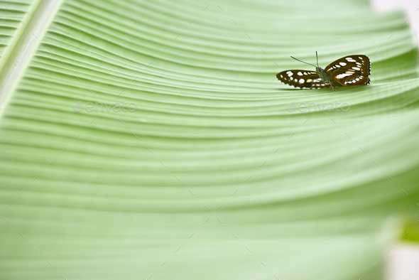 Tropical colorful butterfly on green banana leaves. - Stock Photo - Images