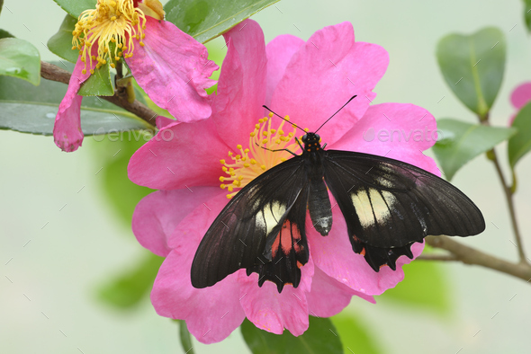 Tropical colorful butterfly among pink and yellow camellia flowers. - Stock Photo - Images