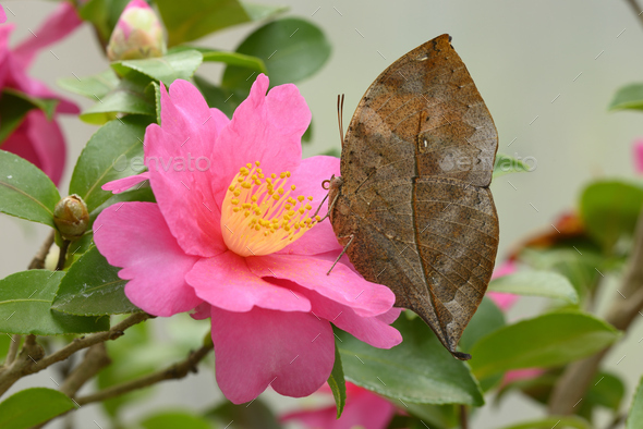 Dead leaf Tropical colorful butterfly among pink and yellow camellia flowers. - Stock Photo - Images