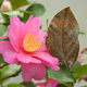 Dead leaf Tropical colorful butterfly among pink and yellow camellia flowers. - PhotoDune Item for Sale
