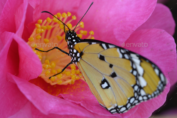 Tropical monarch butterfly among pink and yellow camellia flowers. - Stock Photo - Images