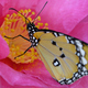 Tropical monarch butterfly among pink and yellow camellia flowers. - PhotoDune Item for Sale