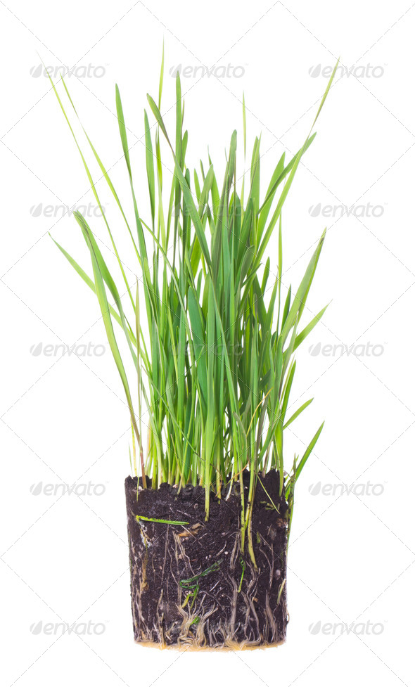 Green grass showing roots - Stock Photo - Images