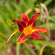 Lilium canadense, Canadian Lily - PhotoDune Item for Sale