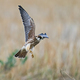 Red-footed falcon (Falco vespertinus) - PhotoDune Item for Sale