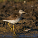 Wood sandpiper (Tringa glareola) - PhotoDune Item for Sale