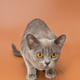 Beautiful cat of the European Burmese breed - PhotoDune Item for Sale