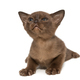 Small chocolate-colored kitten - PhotoDune Item for Sale