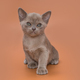 Kitten of the European Burmese gray color - PhotoDune Item for Sale