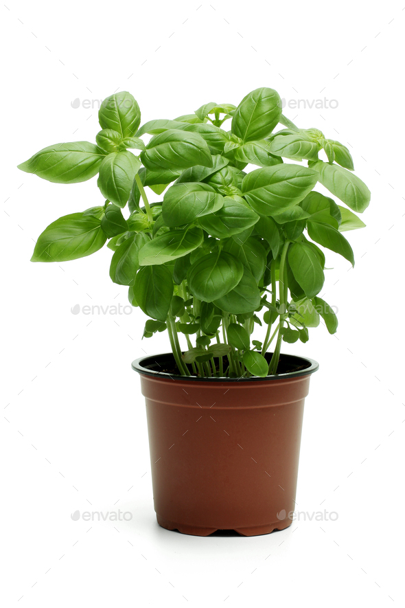 Basil Plant - Stock Photo - Images