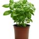 Basil Plant - PhotoDune Item for Sale