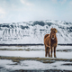 Beautiful Icelandic Horse - PhotoDune Item for Sale