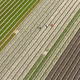 Workers in tulip fields, North Holland, The Netherlands - PhotoDune Item for Sale