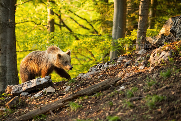 Brown bear moving through forest in sunny springtime nature - Stock Photo - Images
