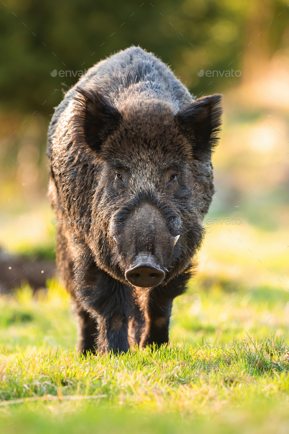 Wild boar male approaching on grass in springtime - Stock Photo - Images