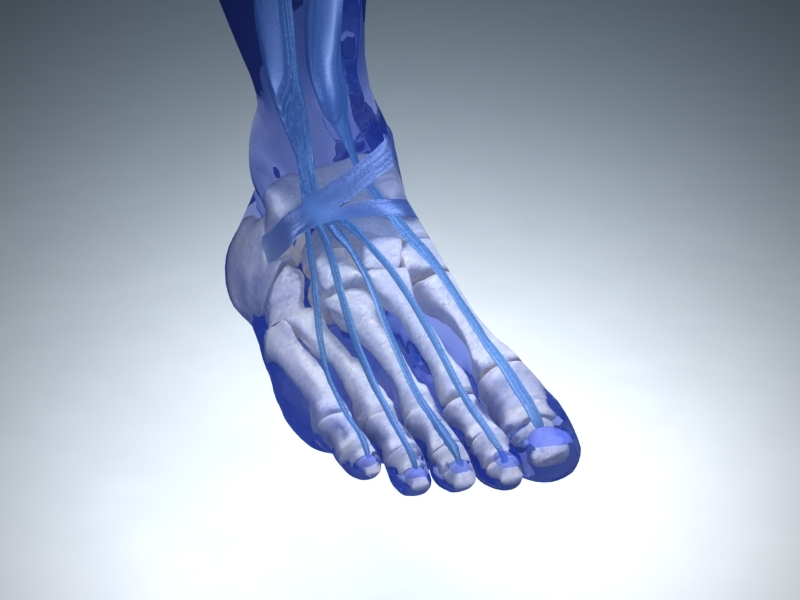 Foot Anatomy with Vray Materials and Textures by zibal | 3DOcean