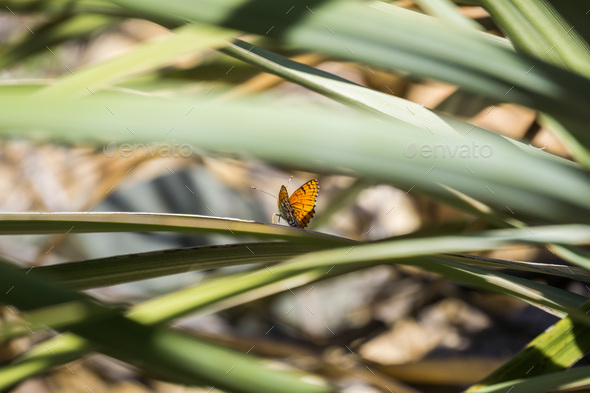 Sagebrush Checkerspot (Chlosyne acastus) butterfly - Stock Photo - Images