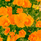 California Poppies - PhotoDune Item for Sale