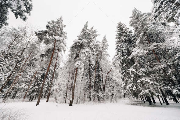 winter forest with snow-covered trees in winter.Lots of Snow on the Christmas trees - Stock Photo - Images
