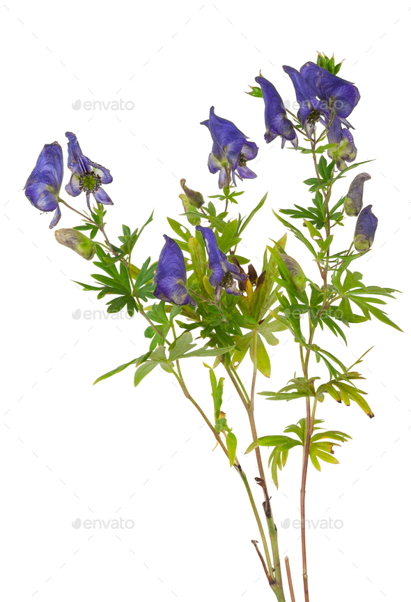 Medicinal plant: Aconite - Stock Photo - Images