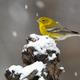 Pine Warbler - PhotoDune Item for Sale