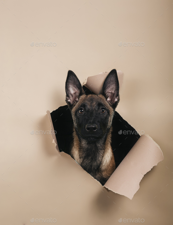 Portrait of cute puppy of breed Malinois comes out of a hole on colored background. space for text. - Stock Photo - Images