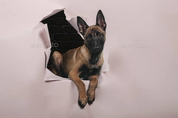 Portrait of cute puppy of breed malinois comes out of a hole in the paper wall .Free space for text. - Stock Photo - Images