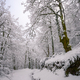 Big Aged chestnut tree next to a snow covered forest path - PhotoDune Item for Sale