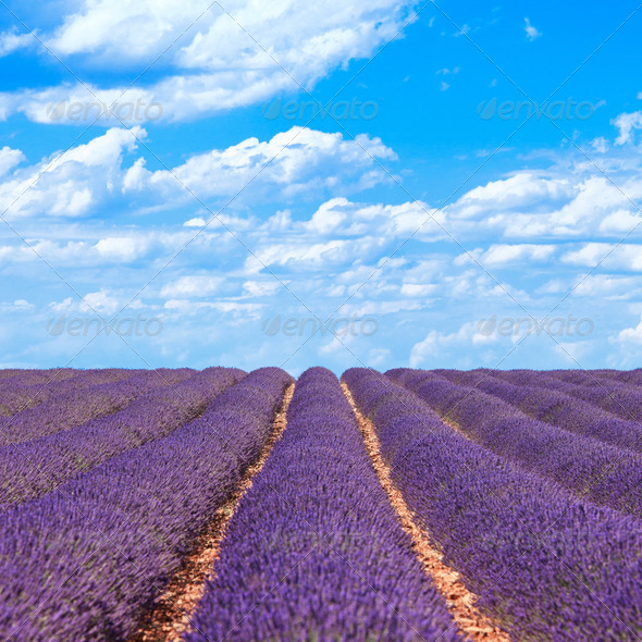 Lavender flower blooming fields horizon. Valensole Provence, France. - Stock Photo - Images