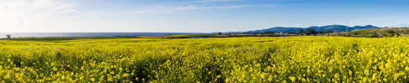 Panoramic view of fields of wild mustard - Stock Photo - Images