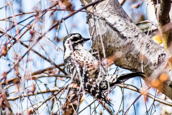 Female Nuttall's Woodpecker - Stock Photo - Images
