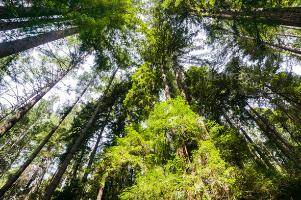 Redwood forest - Stock Photo - Images