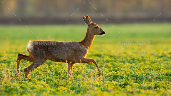 Roe deer running on grassland in spring sunlight - Stock Photo - Images