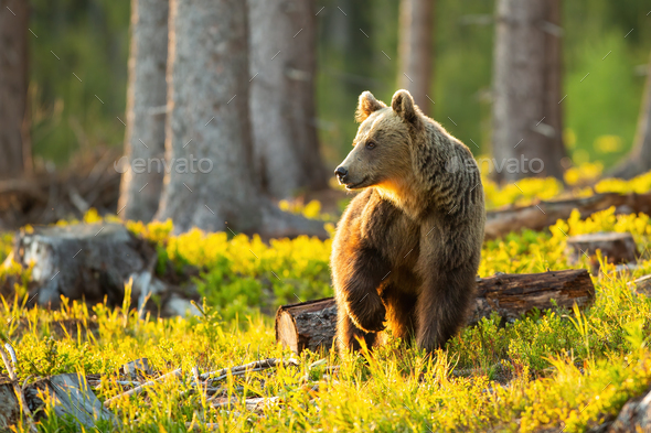 Brown bear looking aside with front leg up in the air inside sunlit forest - Stock Photo - Images