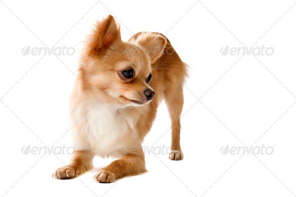 playing chihuahua - Stock Photo - Images