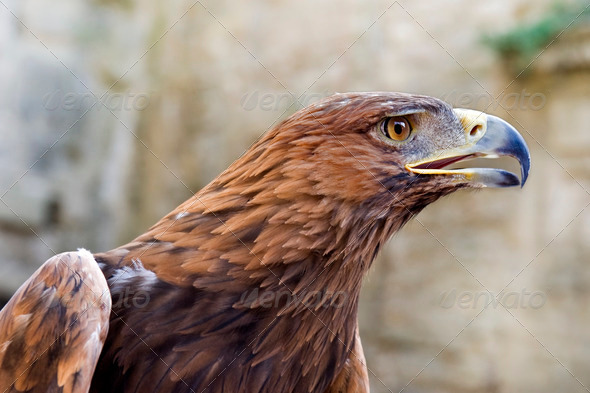 Golden Eagle ,Aquila chrysaetos - Stock Photo - Images