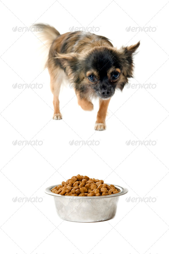 chihuahua and food bowl - Stock Photo - Images
