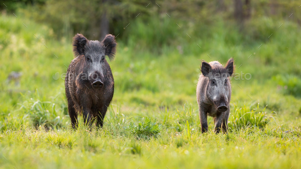 Two wild boars approaching on glade in spring nature - Stock Photo - Images