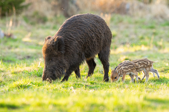 Family of wild boar grazing on glade in spring nature - Stock Photo - Images
