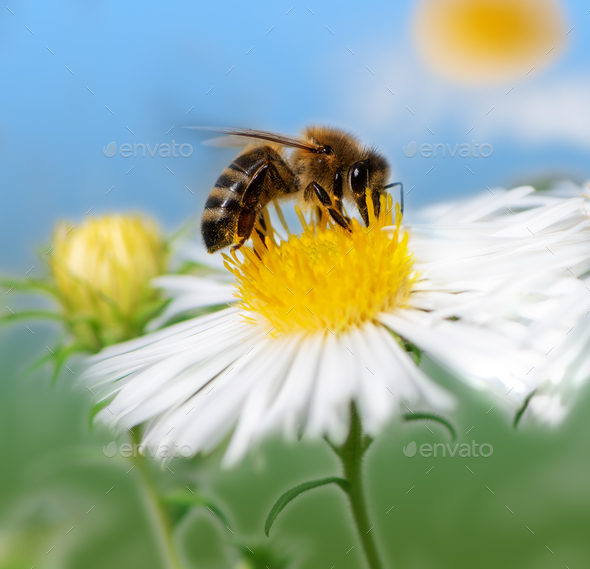 Bee collecting nectar at a white aster blossom - Stock Photo - Images