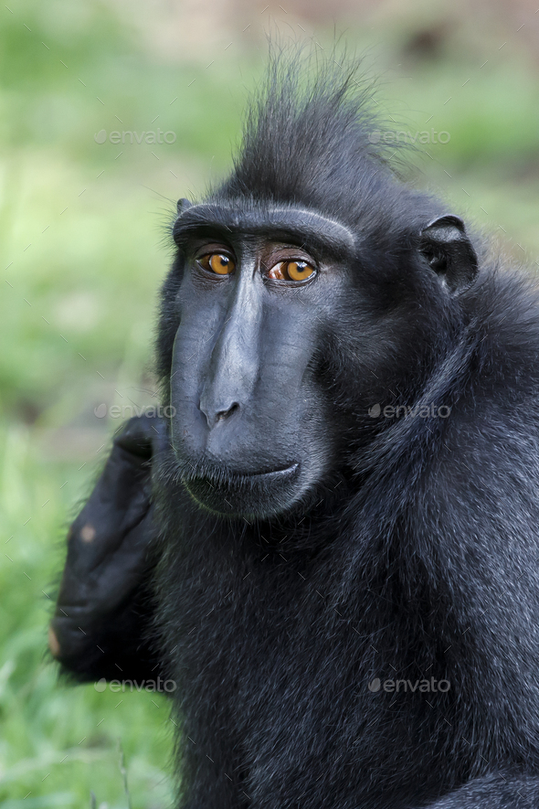 Crested black macaque (Macaca Nigra) in nature - Stock Photo - Images