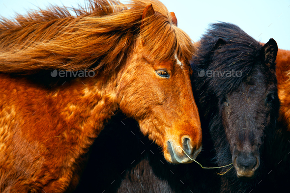 Portrait of Icelandic horses in Iceland - Stock Photo - Images