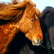 Portrait of Icelandic horses in Iceland - PhotoDune Item for Sale