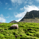 Morning view on the summer Faroe islands with sheep - PhotoDune Item for Sale