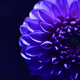 Deep blue flower of chrysanthemum - PhotoDune Item for Sale
