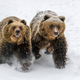 Close-up two brown bear running in winter forest - PhotoDune Item for Sale