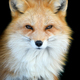 Close up view red fox. Wild animal isolated on a black background - PhotoDune Item for Sale